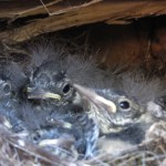 jonge vliegenvangertjes
