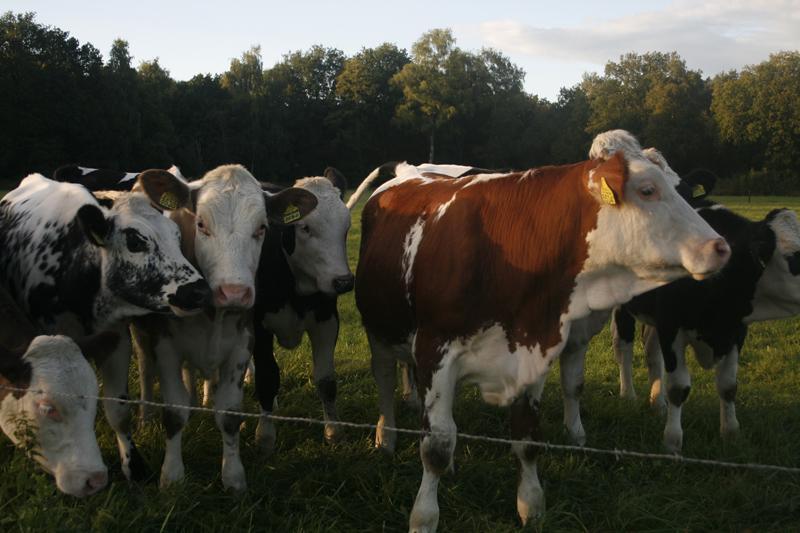 koeien bij de draad