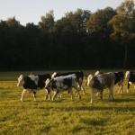 koeien bij avond licht